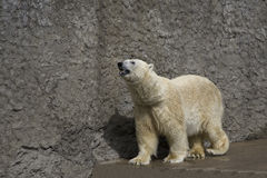 Polar bear in a zoo. The polar bear goes on a platform in a zoo Royalty Free Stock Photo