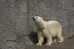 Polar bear in a zoo. The polar bear goes on a platform in a zoo royalty free stock photo