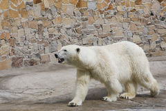 Polar bear in a zoo. The polar bear goes on a platform in a zoo royalty free stock images
