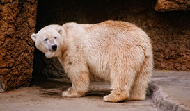 Polar bear at a zoo Royalty Free Stock Photo