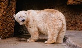Polar bear at a zoo Royalty Free Stock Photo