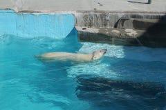 Polar bear Royalty Free Stock Image