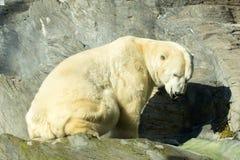 Polar bear at zoo Royalty Free Stock Images