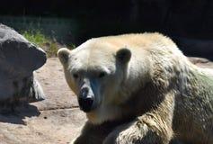 Polar bear in the zoo royalty free stock image