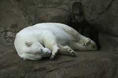 Polar bear in a zoo Stock Photography