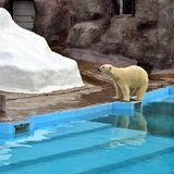 Polar bear in Zoo Stock Images