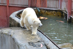 Polar bear in a zoo at the pool. Royalty Free Stock Images