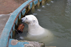 Polar bear in a zoo at the pool. Royalty Free Stock Photography