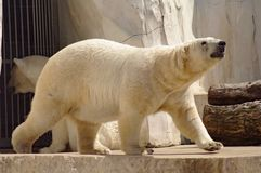 Polar bear in the zoo's pavilion. Germany Royalty Free Stock Images