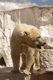 Polar bear in the zoo's pavilion. Germany Stock Photo