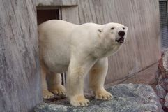 Polar bear in the zoo's pavilion Royalty Free Stock Images