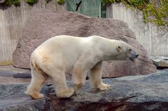 Polar bear in the zoo's pavilion Royalty Free Stock Image