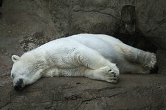 Polar bear in a zoo. Sleeping Stock Images