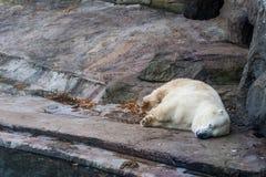 Polar bear in the Zoo Royalty Free Stock Photography