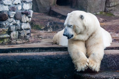 Polar bear in the Zoo Royalty Free Stock Photos