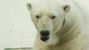 Polar Bear In The Zoo stock video