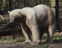 Polar bear in zoo Royalty Free Stock Image