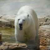 Polar bear. In the zoo in summer stock image