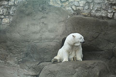 Polar bear in a zoo Stock Image