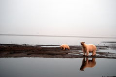 Polar Bears 1 Stock Photography