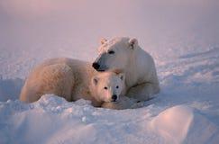 Polar bears. Polar bear with her cub on frozen Canadian tundra Royalty Free Stock Images