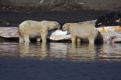 Polar Bears. A pair of Polar Bears in the water stock photos