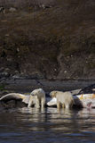 Polar bears. Two polar bears standing in the water royalty free stock photo