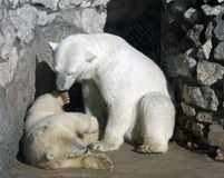 Polar bears. Two polar bears playing on the rock Stock Photography