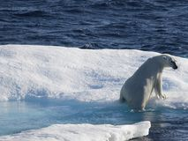 Polar bears. On ice floe in Nunavut (canadian arctic sea Royalty Free Stock Photography