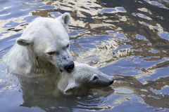 Polar bears. Polar bear mother grabbing young cub royalty free stock images