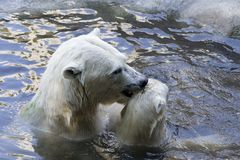 Polar bears. Mother polar bear grabbing a cub by the scruff of it's neck in the water royalty free stock photo