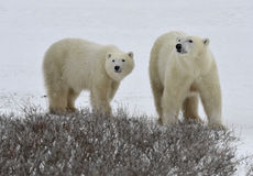 Polar bears. Royalty Free Stock Photo