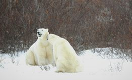 Polar bears. Royalty Free Stock Image