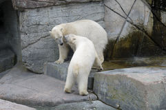 Polar bears. On fighting and defending behaviours Stock Photos
