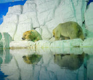 Polar bears. Along the river in the zoo Royalty Free Stock Photo