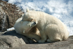 Polar bears Stock Image