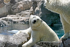 Polar Bears Stock Photography