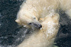 Polar bears. Polar bear (Ursus maritimus) wrestling stock photos
