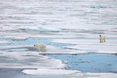 Polar Bears Stock Photography