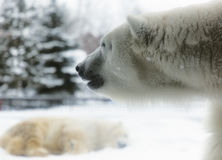 Polar bears Royalty Free Stock Photo