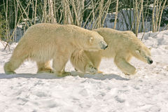 Polar bears. Taken at cochrane Royalty Free Stock Photography