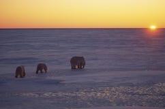 Polar bears. Mother and cubs,walking in Arctic sunset Stock Photos
