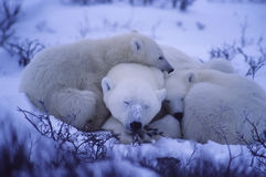 Polar bears. Polar bear with her cubs huddled together for warmth Stock Images