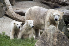 Free Polar Bears Stock Photo - 57347530