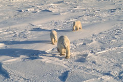 Polar bears. With her cubs walking in the Arctic Stock Photos