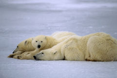 Polar bears. Polar bear with her yearling cubs. Canadian Arctic Royalty Free Stock Images