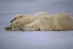 Polar bears Stock Image