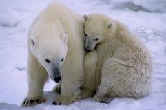 Polar bears Royalty Free Stock Photography