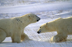 Polar bears. Two male polar bears square off in the Canadian Arctic Stock Image