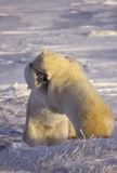 Polar bears Stock Images